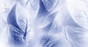 Floral άσπρος-μπλε υπόβαθρο Αυξήθηκε κινηματογράφηση σε πρώτο πλάνο πετάλων λουλουδιών μετά από τη βροχή Σταγονίδια νερού στα πέτ στοκ εικόνα