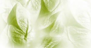 Floral άσπρος-πράσινο υπόβαθρο Αυξήθηκε κινηματογράφηση σε πρώτο πλάνο πετάλων λουλουδιών μετά από τη βροχή Σταγονίδια νερού στα  στοκ φωτογραφία με δικαίωμα ελεύθερης χρήσης