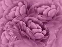 Floral ανοικτό ροζ ημίτονο υπόβαθρο η ανθοδέσμη ανθίζει το ρο&z Κινηματογράφηση σε πρώτο πλάνο floral κολάζ convolvulus σύνθεσης  Στοκ φωτογραφία με δικαίωμα ελεύθερης χρήσης