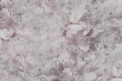 Floral ανοιχτό ροζ - άσπρο όμορφο υπόβαθρο Ταπετσαρίες άσπρου peony λουλουδιών convolvulus σύνθεσης ανασκόπησης λευκό τουλιπών λο Στοκ εικόνες με δικαίωμα ελεύθερης χρήσης