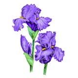 Floral απεικόνιση της ιώδους ίριδας κήπων διανυσματική απεικόνιση