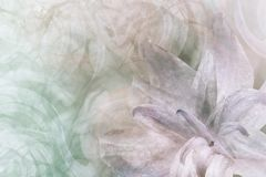 Floral αφηρημένος ελαφρύς πράσινος - άσπρος-ιώδης-ρόδινο υπόβαθρο Πέταλα ενός λουλουδιού κρίνων Κινηματογράφηση σε πρώτο πλάνο Κο Στοκ Φωτογραφία