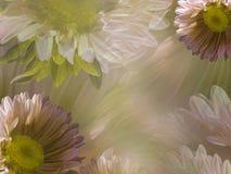 Floral ελαφρύ dreen-άσπρο όμορφο υπόβαθρο της μαργαρίτας Ταπετσαρίες του ρόδινος-κίτρινου Chamomile λουλουδιών convolvulus σύνθεσ Στοκ Εικόνα
