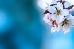 Floral ευγενές υπόβαθρο άνοιξη, ανθίζοντας κλάδοι sakura κερασιών Στοκ εικόνες με δικαίωμα ελεύθερης χρήσης