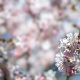 Floral ευγενές υπόβαθρο άνοιξη, ανθίζοντας κλάδοι sakura κερασιών Στοκ Εικόνες