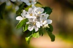 Floral ευγενές υπόβαθρο άνοιξη, ανθίζοντας κλάδοι sakura κερασιών Στοκ Φωτογραφία
