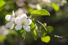 Floral ευγενές υπόβαθρο άνοιξη, ανθίζοντας κλάδοι sakura κερασιών Στοκ φωτογραφία με δικαίωμα ελεύθερης χρήσης