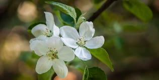 Floral ευγενές υπόβαθρο άνοιξη, ανθίζοντας κλάδοι sakura κερασιών Στοκ Εικόνα