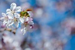 Floral ευγενές υπόβαθρο άνοιξη, ανθίζοντας κλάδοι sakura κερασιών Στοκ εικόνα με δικαίωμα ελεύθερης χρήσης