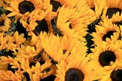 floral ηλίανθοι λουλουδιών πεδίων κίτρινοι Στοκ Εικόνες