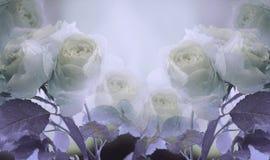 Floral θερινό άσπρος-ιώδες όμορφο υπόβαθρο Μια τρυφερή ανθοδέσμη των τριαντάφυλλων με τα πράσινα φύλλα στο μίσχο μετά από τη βροχ Στοκ Εικόνες