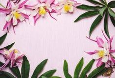 Floral θερινό ρόδινο υπόβαθρο Πλαίσιο των λουλουδιών aquilegia και των πράσινων φύλλων Στοκ Εικόνα
