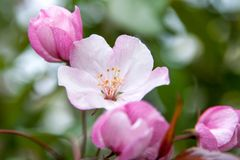 Floral θερινό υπόβαθρο, μαλακή εστίαση Appletree άνθισης Blurre Στοκ εικόνα με δικαίωμα ελεύθερης χρήσης