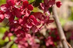 Floral θερινό υπόβαθρο, μαλακή εστίαση Appletree άνθισης Blurre Στοκ εικόνες με δικαίωμα ελεύθερης χρήσης