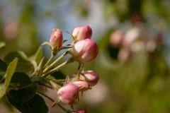Floral θερινό υπόβαθρο, μαλακή εστίαση Appletree άνθισης Blurre Στοκ Εικόνες