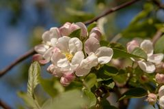Floral θερινό υπόβαθρο, μαλακή εστίαση Appletree άνθισης Blurre Στοκ φωτογραφία με δικαίωμα ελεύθερης χρήσης