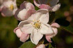 Floral θερινό υπόβαθρο, μαλακή εστίαση Appletree άνθισης Blurre Στοκ Φωτογραφίες