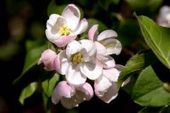Floral θερινό υπόβαθρο, μαλακή εστίαση Appletree άνθισης Blurre Στοκ Φωτογραφία