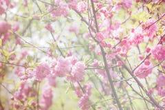 Floral θολωμένο υπόβαθρο, κήπος άνοιξη, ασιατικό triloba Louiseania κερασιών Στοκ Φωτογραφία