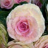 floral κουνουπιδιών ανασκόπησης που χρωματίζεται Στοκ Εικόνες