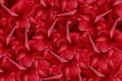 Floral κόκκινο όμορφο υπόβαθρο από τα τριαντάφυλλα convolvulus σύνθεσης ανασκόπησης λευκό τουλιπών λουλουδιών Υπόβαθρο των πετάλω Στοκ Φωτογραφία