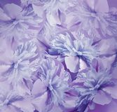 Floral μπλε-ιώδες υπόβαθρο Ανθοδέσμη των λουλουδιών των peonies Ιώδης-μπλε πέταλα του peony λουλουδιού Κινηματογράφηση σε πρώτο π Στοκ Εικόνες