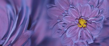 Floral μπλε-ρόδινο υπόβαθρο των λουλουδιών της ντάλιας φωτεινό λουλούδι ρύθμισης Κάρτα για τον εορτασμό closeup Στοκ εικόνα με δικαίωμα ελεύθερης χρήσης
