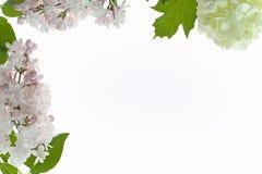 Floral πλαίσιο με άσπρος και χλωμός - ρόδινα λουλούδια που απομονώνονται στο λευκό Στοκ Φωτογραφία