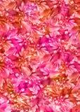 floral πορτοκαλί ροζ ανασκόπη&sig Στοκ Φωτογραφία