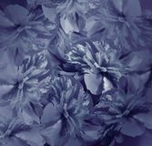 Floral σκούρο μπλε υπόβαθρο Ανθοδέσμη των λουλουδιών των peonies Μπλε πέταλα του peony λουλουδιού Κινηματογράφηση σε πρώτο πλάνο Στοκ φωτογραφίες με δικαίωμα ελεύθερης χρήσης