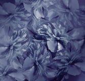 Floral σκούρο μπλε υπόβαθρο Ανθοδέσμη των λουλουδιών των peonies Μπλε πέταλα του peony λουλουδιού Κινηματογράφηση σε πρώτο πλάνο Στοκ Εικόνες
