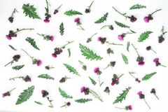 Floral σχέδιο φιαγμένο από κάρδο με τα ρόδινα και πορφυρά λουλούδια, τα πράσινα φύλλα, τους κλάδους και τα αγκάθια στο άσπρο υπόβ Στοκ εικόνες με δικαίωμα ελεύθερης χρήσης