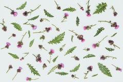 Floral σχέδιο φιαγμένο από κάρδο με τα ρόδινα και πορφυρά λουλούδια, τα πράσινα φύλλα, τους κλάδους και τα αγκάθια στο άσπρο υπόβ Στοκ Φωτογραφίες