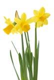 Floral σύνορα άνοιξη, όμορφα φρέσκα λουλούδια ναρκίσσων Στοκ Φωτογραφίες