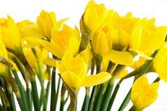 Floral σύνορα άνοιξη, όμορφα φρέσκα λουλούδια daffodils, που απομονώνονται στο άσπρο υπόβαθρο Στοκ φωτογραφία με δικαίωμα ελεύθερης χρήσης