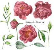 Floral σύνολο Watercolor με peony και τα φύλλα Χρωματισμένα χέρι στοιχεία εγκαταστάσεων με τα λουλούδια και πρασινάδα που απομονώ διανυσματική απεικόνιση