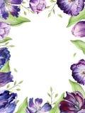 Floral τουλίπα Watercolor backgraund Απομονωμένη ζωηρόχρωμη απεικόνιση άνοιξη Ιώδεις εγκαταστάσεις τουλιπών Watercolour πορφυρός Στοκ εικόνες με δικαίωμα ελεύθερης χρήσης