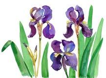 Floral τυπωμένη ύλη Watercolor, λουλούδια της Iris, σταυροί Λουλούδια της ίριδας Συρμένη χέρι βοτανική απεικόνιση Watercolor των  Στοκ Εικόνες