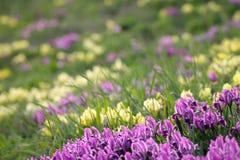 Floral υπόβαθρο άνοιξη με τις πορφυρές και κίτρινες ίριδες Στοκ Εικόνα