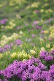 Floral υπόβαθρο άνοιξη με τις πορφυρές και κίτρινες ίριδες Στοκ φωτογραφία με δικαίωμα ελεύθερης χρήσης