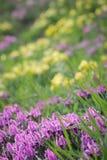 Floral υπόβαθρο άνοιξη με τις πορφυρές και κίτρινες ίριδες Στοκ εικόνες με δικαίωμα ελεύθερης χρήσης