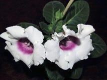 floral υπόβαθρο με άσπρο Sinningia στοκ εικόνες