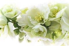 Floral υπόβαθρο με τα λεπτά άσπρα λουλούδια του ιαπωνικού κυδωνιού Στοκ Εικόνες