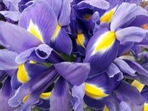 Floral υπόβαθρο με τις πορφυρές ίριδες Στοκ φωτογραφία με δικαίωμα ελεύθερης χρήσης
