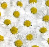 Floral υπόβαθρο λουλουδιών μαργαριτών Στοκ εικόνες με δικαίωμα ελεύθερης χρήσης