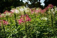 Floral υπόβαθρο λουλουδιών Garden Στοκ Εικόνα