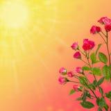 Floral υπόβαθρο, τριαντάφυλλα που απομονώνονται στο πορτοκαλί υπόβαθρο διάστημα αντιγράφων Στοκ φωτογραφίες με δικαίωμα ελεύθερης χρήσης