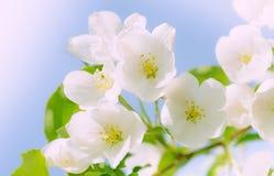 Floral υπόβαθρο των λουλουδιών άνοιξη Στοκ εικόνα με δικαίωμα ελεύθερης χρήσης