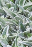 Floral υπόβαθρο, χνουδωτά φύλλα φυτών επίγειας κάλυψης, Stachys μάλλινο Stahis στοκ εικόνες