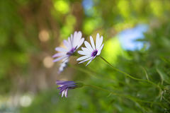 Floral υπόβαθρο, chamomile ιατρικός Στοκ εικόνες με δικαίωμα ελεύθερης χρήσης